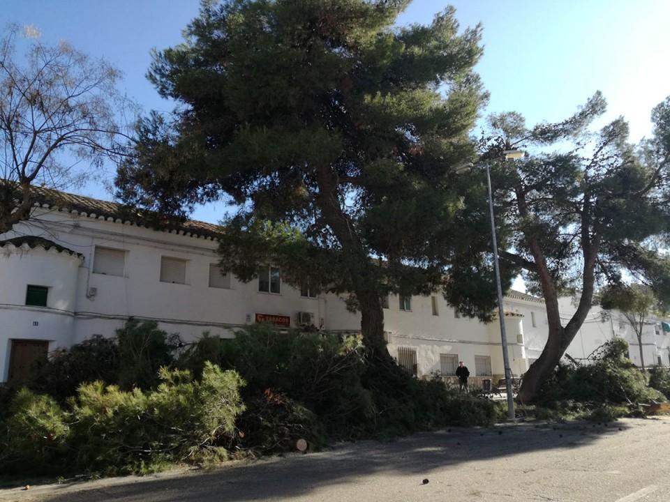 Reducción de las copas de 25 grandes pinos